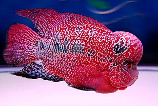 Flower horn cichlid for Flower horn fish