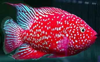 Flower horn cichlid for Flowerhorn fish for sale