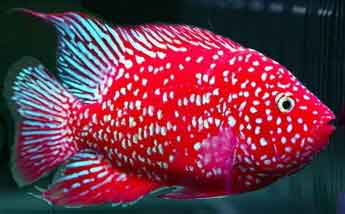 CICHLID WORLD - THE BEST IN TROPICAL FISH FOR OVER 47 YEARS